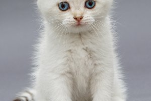 White British kitten with blue eyes