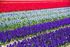 Hyacinths field in the Netherlands