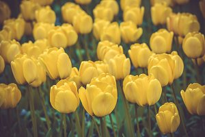 Yellow tulips field in the Netherlan