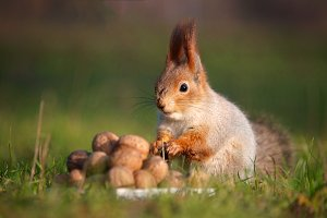 Red squirrel with nuts