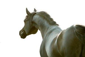 black arab horse