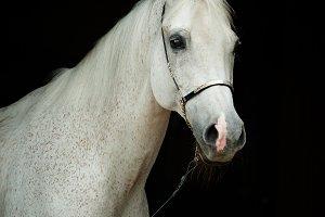 White tersk horse