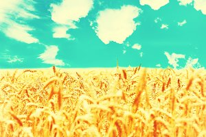 Field of golden ripe wheat