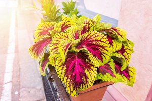 Pink and green coleus