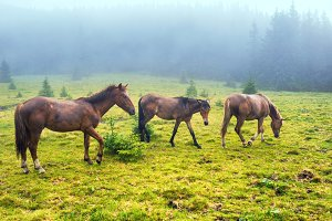 Herd of running brown horses