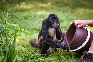 Spider Monkey being fed