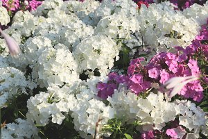 White & violet flowers flowerbed