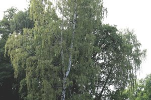Large white birch tree