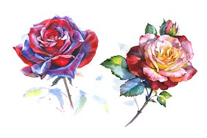Stunning big red rose PNG watercolor