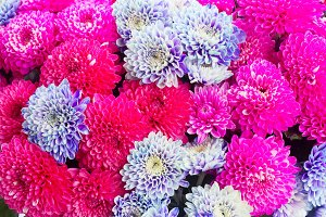 blue chrysanthemum flowers