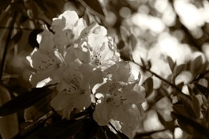 Lilies in sepia