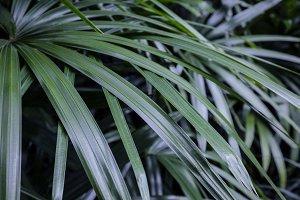 Rhapis excelsa or Lady palm tree