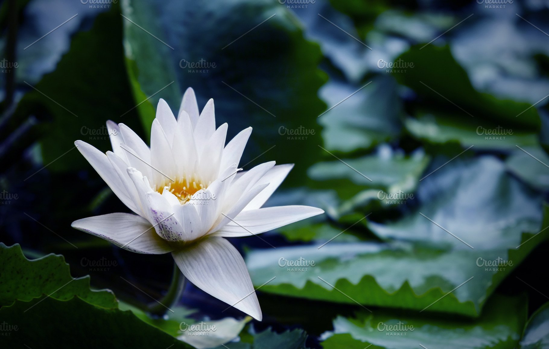 White Lotus Flower With Green Leaves Nature Photos Creative Market