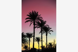 Palm trees against the pink sky