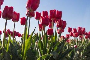 nederland flowers