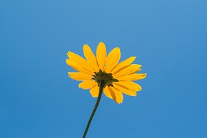 Bright yellow daisy flower on blue s