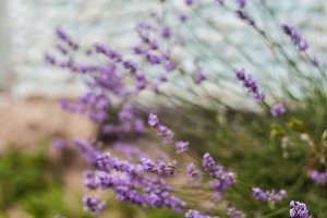 Bush with lavender flowers in blur i