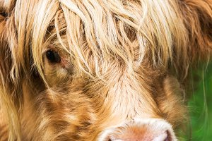 Funny hairy highland scottish cow