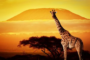 Giraffe on savanna landscape