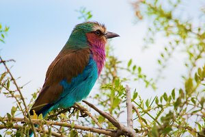 Lilac Breasted Roller bird, Africa