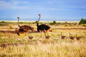 Ostrich family walking on savanna