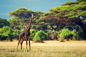 Single giraffe on savanna, Africa