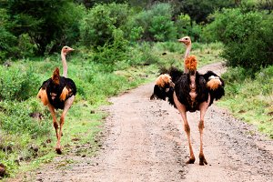 Two ostriches on African road