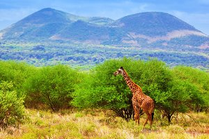 Giraffe standing on African savanna
