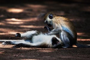 The vervet monkeys, Tsavo West