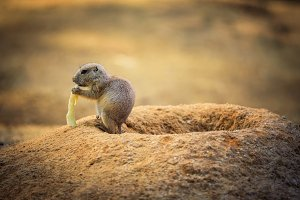 Baby prairie dog feeding at its lair