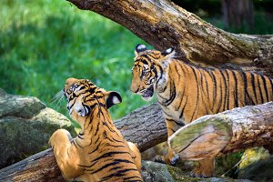 Two young malayan tigers