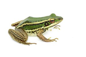 Image of paddy field green frog.
