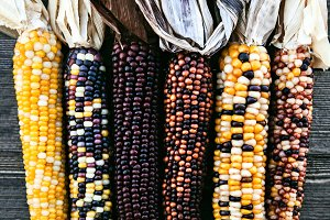 Ears Of Colorful Indian Corn