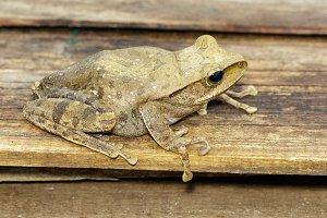 Polypedates leucomystax. Amphibian.