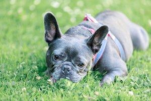 Adorable blue male French Bulldog