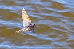 barn swallow , Hirundo rustica