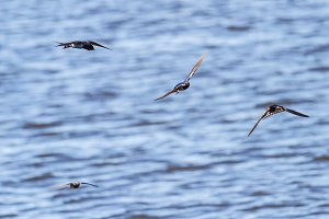 barn swallows fly over water