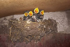 chicks in the nest opened the yellow
