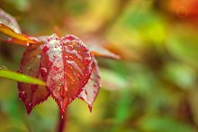 Red leafs after rain