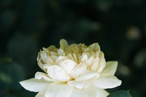 Gentle White Peony Flower