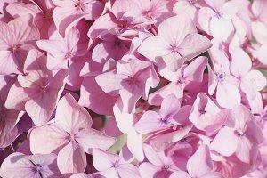 Light Pink Hydrangea Photo