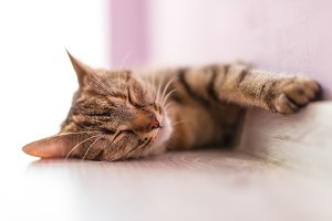 Sleeping cat on the wooden floor