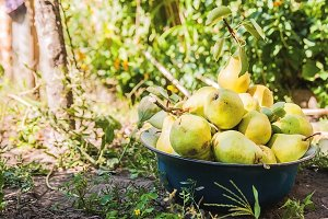 gather the harvest of pears in the g