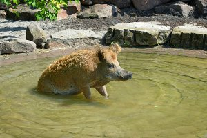 Pig swim in the pool