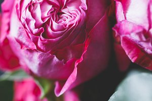 Macro photography of dark pink roses