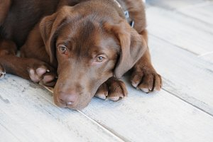 Cute brown labrador puppy on floor