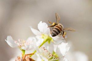 Honeybee Harvesting Pollen From Blos