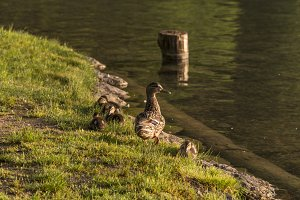 Duck mother and little ducklings