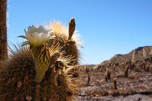 Saguaro Cactus flower in the desert