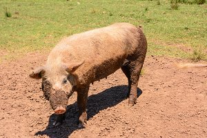 Pink sow dirty of mud